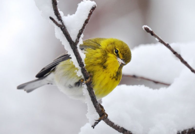 How Birds Cope with Cold in Winter